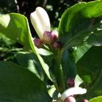 Bio Zitronenblüte