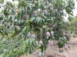 Bio Mangobaum der Sorte Keitt