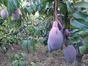 Bio Mango Plantage in Andalusien Spanien