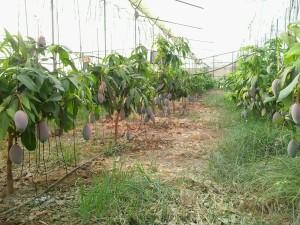 Mango Osteen ecológico, joven arboleda en invernadero.