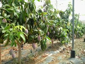 Mangos Osteen ecológicos en invernadero