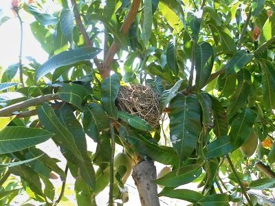 Nido de pájaros en un mango ecológico