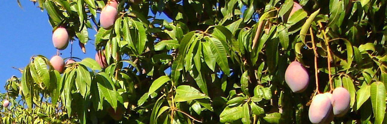 bio-mangos-andalusien