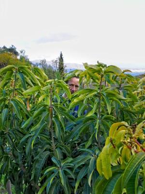 Bio-Mangobaum in Andalusien